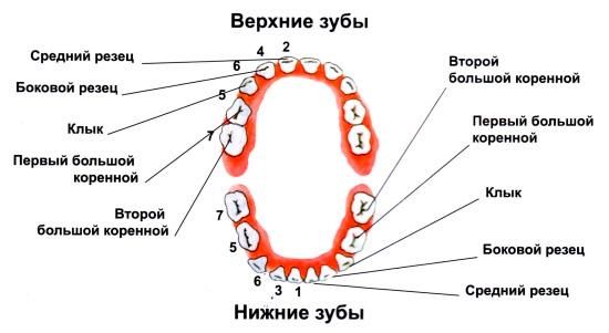 Какие зубы называют глазными
